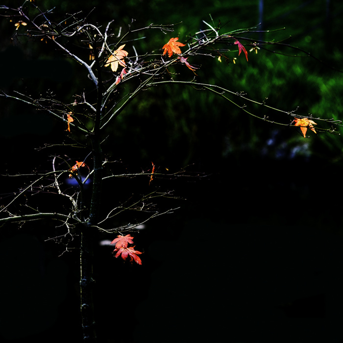 photoblog image Loosing its leaves.